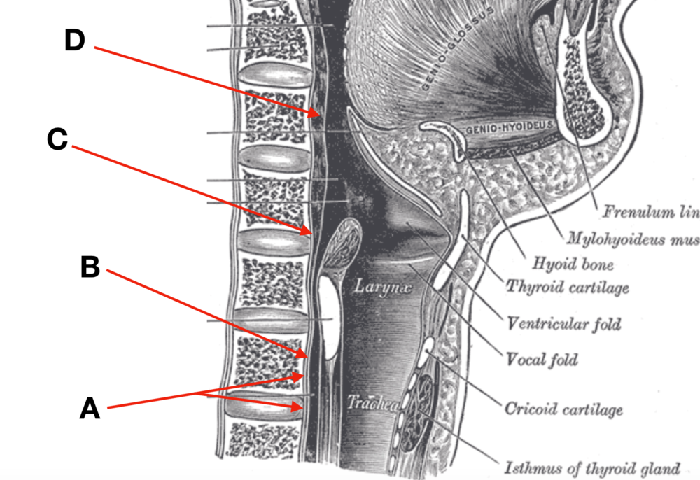 posterior pharyngeal wall.png