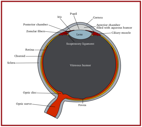Figure 1. anatomy of the eye. courtesy of wikimedia commons.