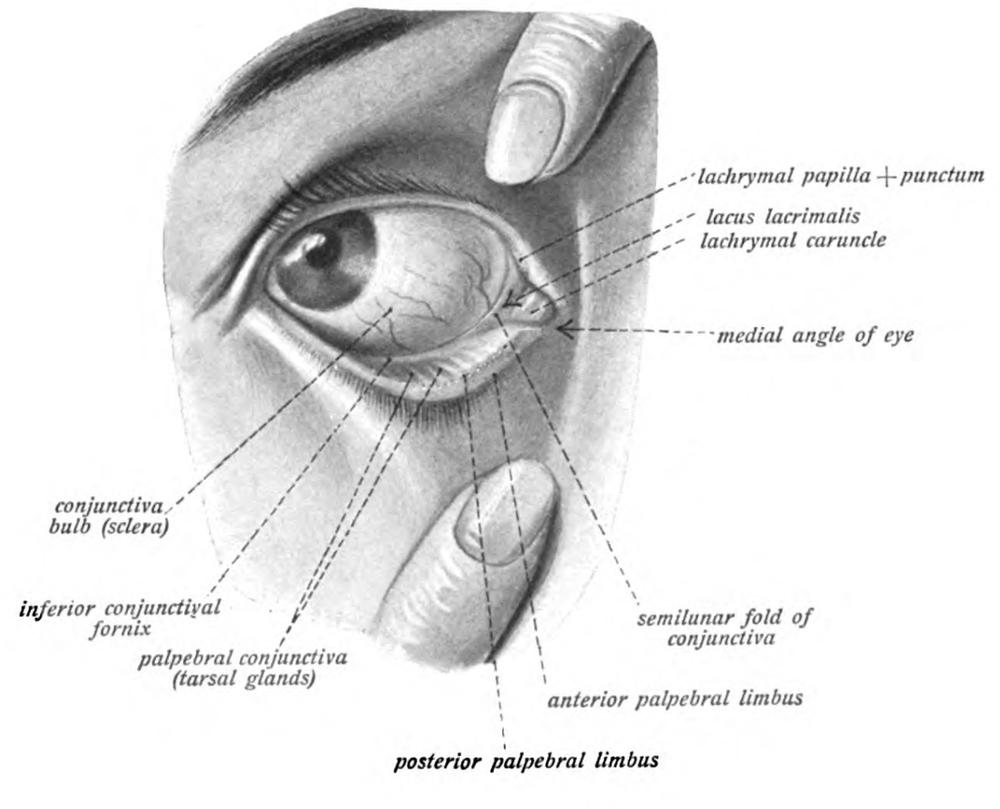 Figure 1. Conjunctiva Anatomy. Courtesy of Wikimedia commons (7).