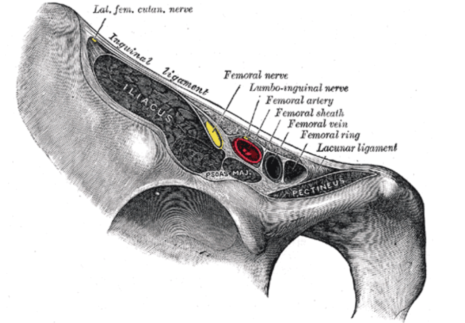 Figure 2.  Inguinal Ligament.   Gray's Anatomy Plate 546 from Wikimedia Commons