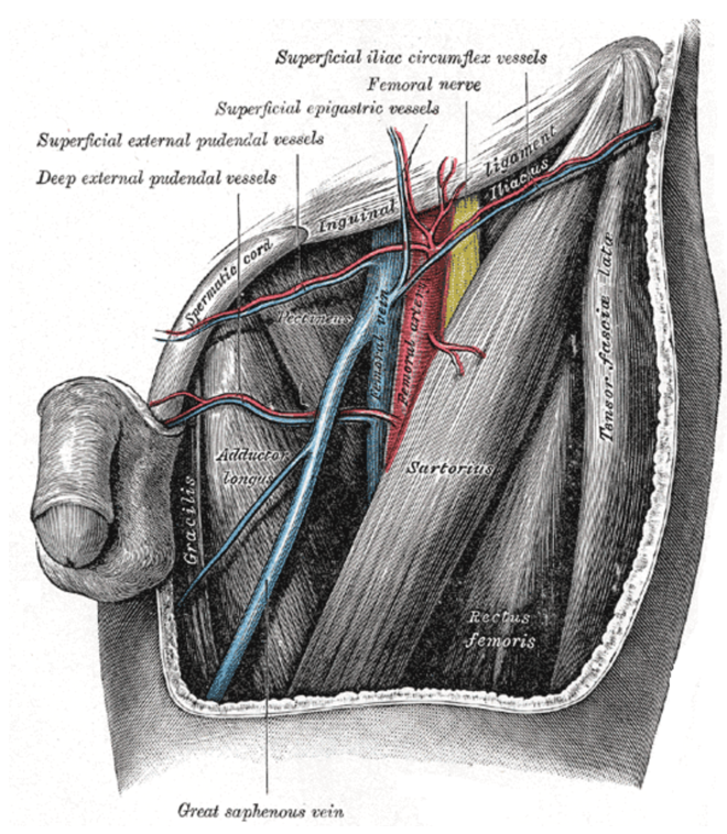 Figure 6 - Anatomy of the Femoral Vein.   Gray's Anatomy Plate 549 from Wikimedia Commons