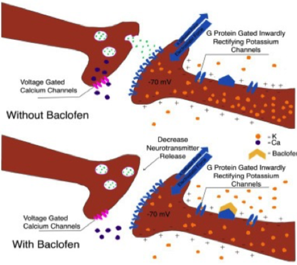 FIgure 1. Diagram of synaptic cleft in the presence and absence of baclofen.