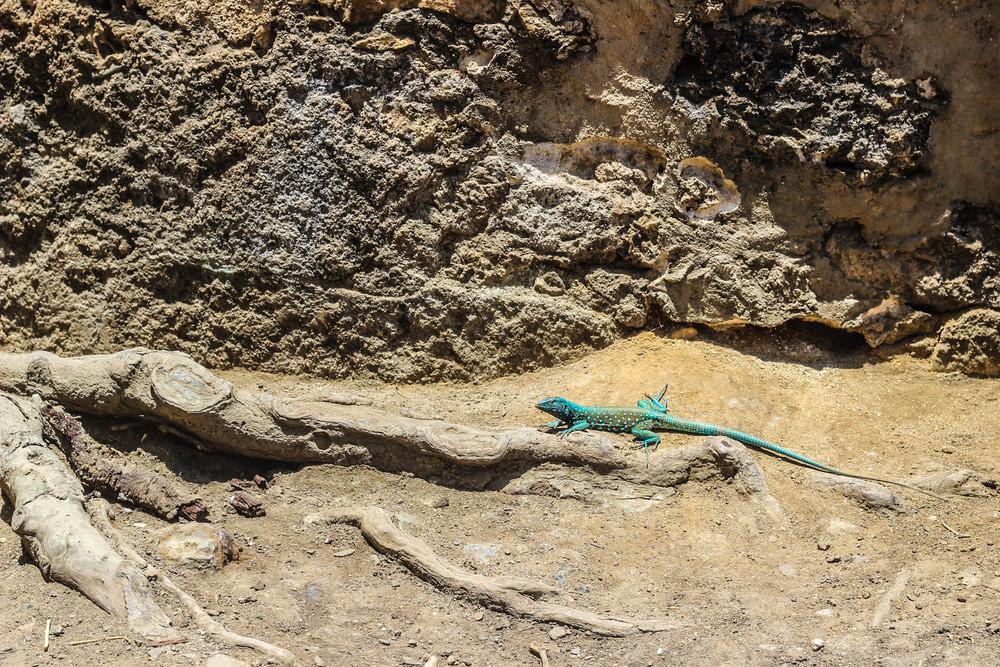 blue_lizard_aruba