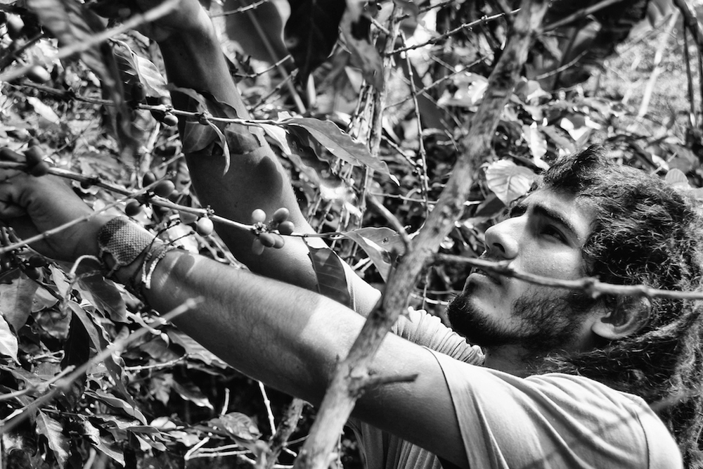 Alfredo, a volunteer from Peru reaches through the branches to collect the fruit