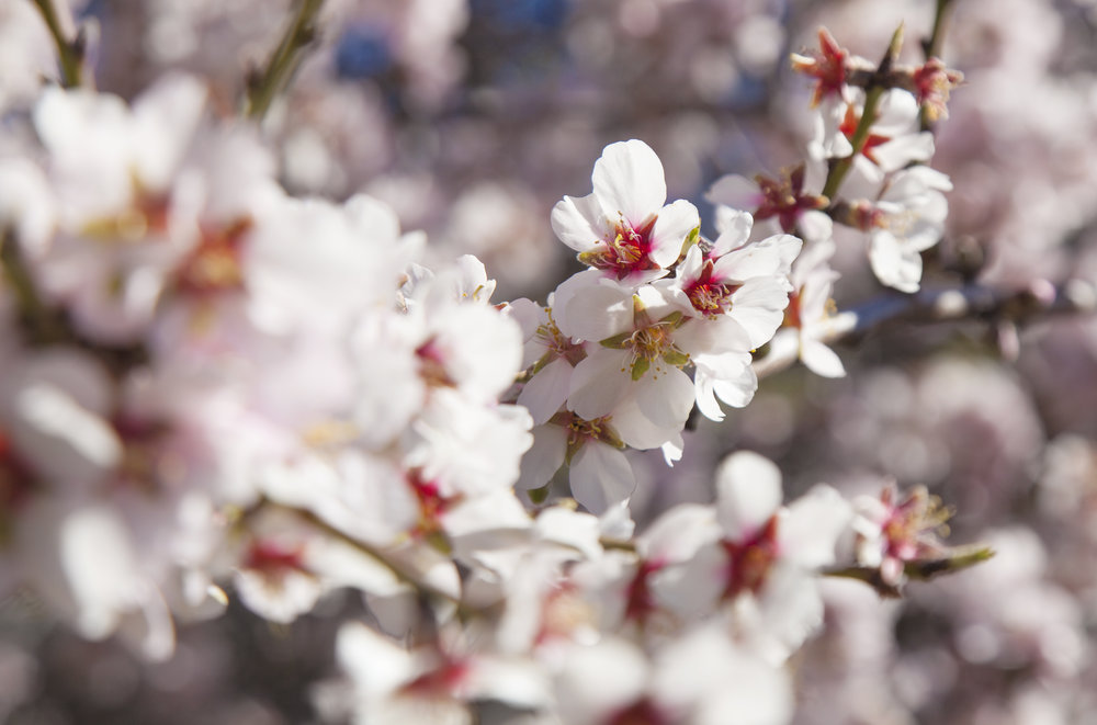 bigstock-Almond-Blossoms-Background-114722456.jpg