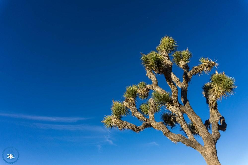 ak_joshua tree-13.jpg