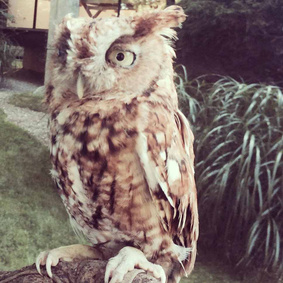 Native owl to the Hamptons