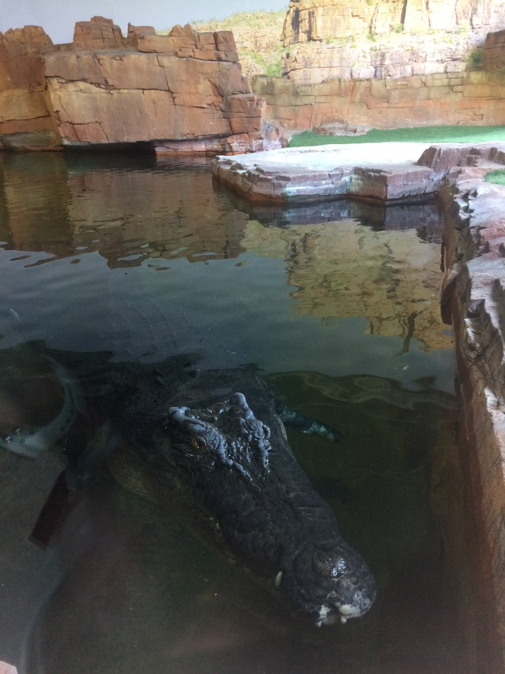 Ballarat croc.JPG