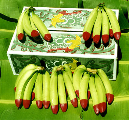 The red wax tip of fruit from Pacific Coast Eco Bananas is trademarked