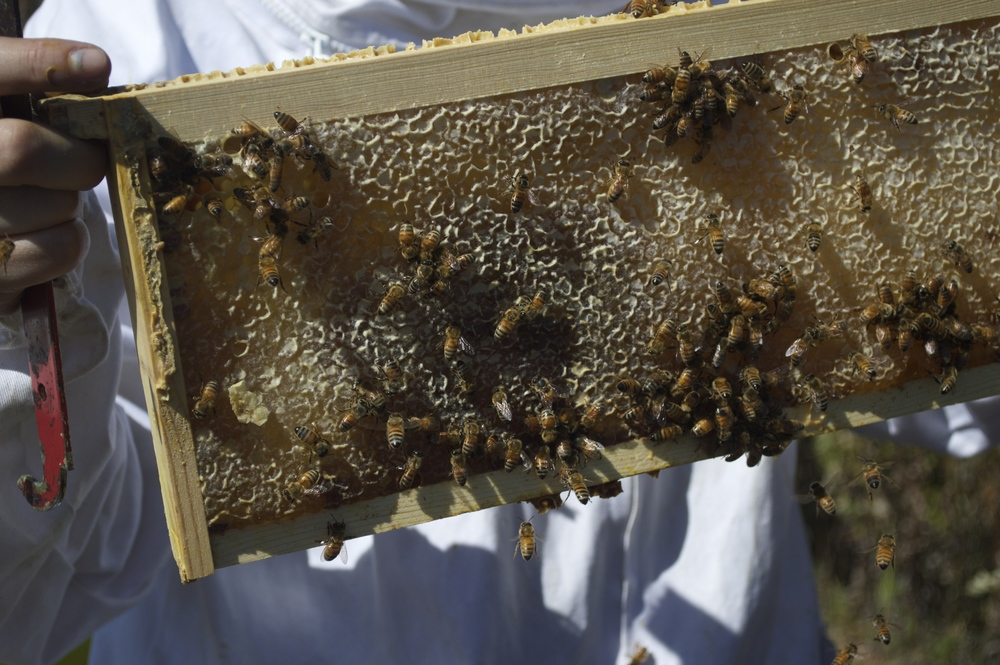 and this is what a frame full of honey looks like! it can take bees anywhere from one week to one month to fill a frame like this one completely with honey and cap it with a protective barrier of wax.