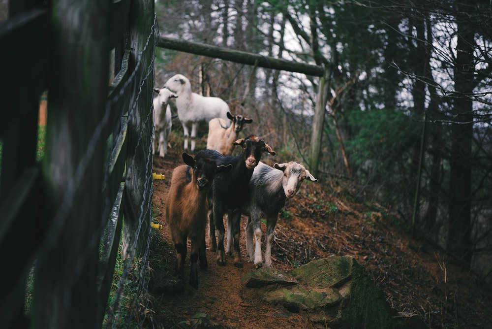 Goats and Sheep, Mouth of Wilson, Virginia | A Brown Table