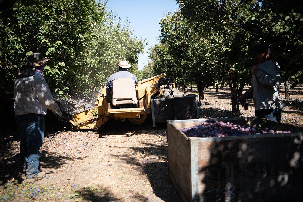 spiced california prunes| Nik Sharma