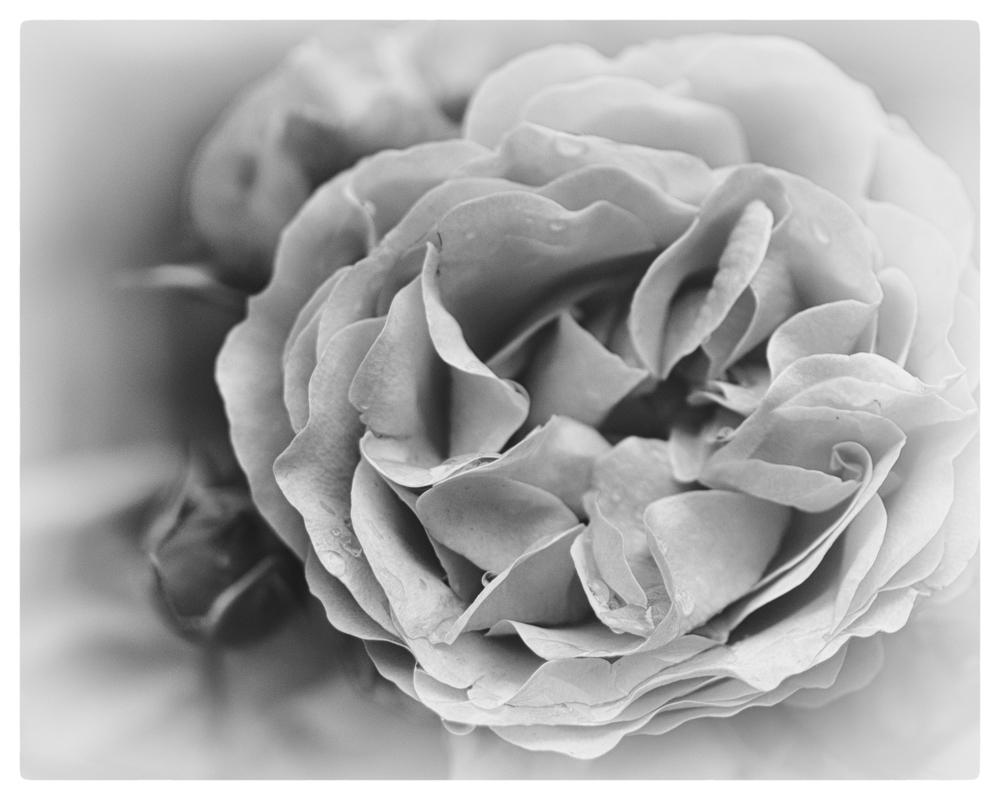 l'âme d'une rose