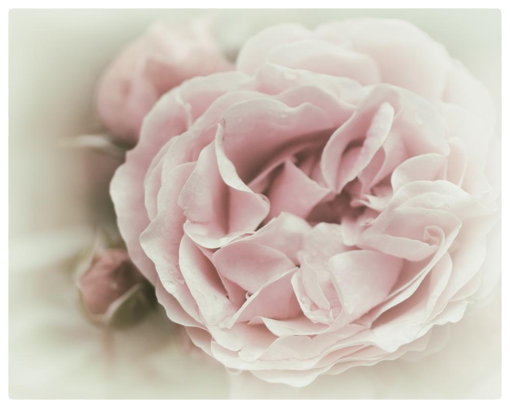 l'âme d'une rose (couleur)