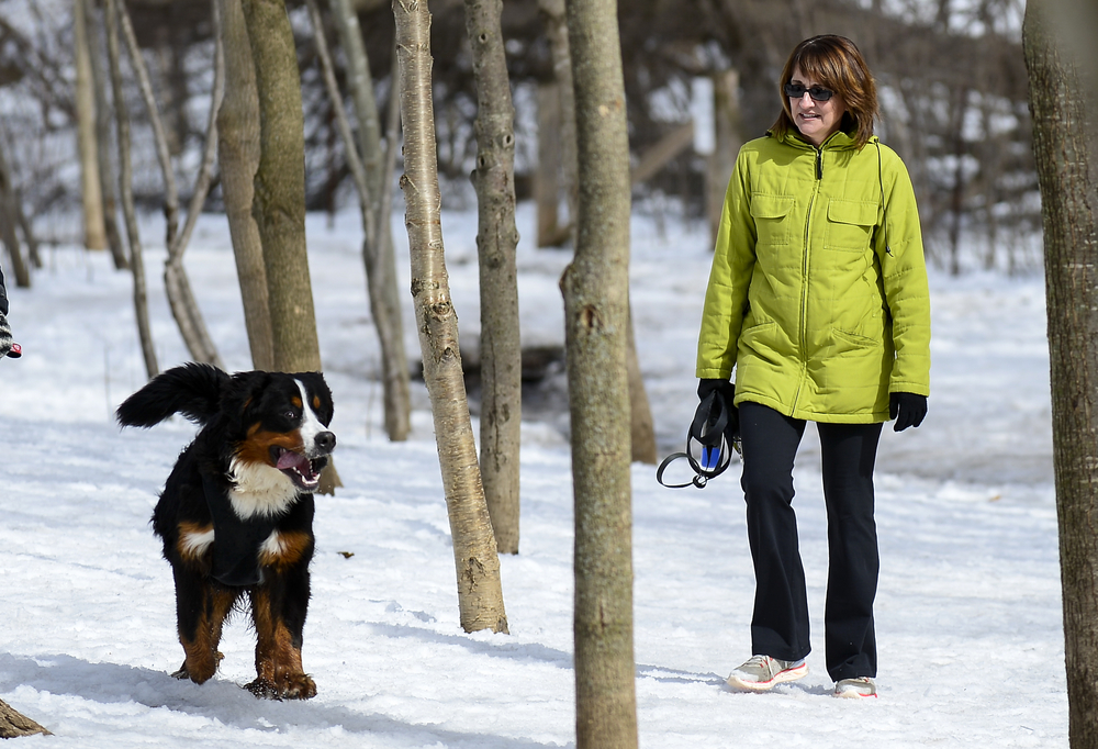 Melodie McCrae walks her Bernese mountain dog Phil at the Greenway Park off-leash dog area in London, Ont. on Thursday March 19, 2015. Long awaited spring weather is giving dog owns an opportunity to enjoy warmer temperatures. ANDREW LAHODYNSKYJ/ The London Free Press /QMI AGENCY