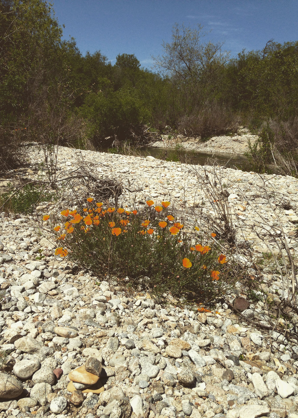 Sisters Of The West explores the Carmel Valley River and finds California Poppy in bloom among the rocks.  Plant medicine, native healing, indigenous allies.