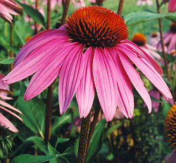 The beautiful echinacea flower