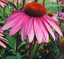 The beautiful echinacea flower