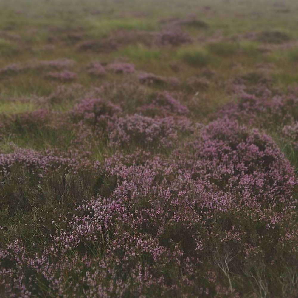 Spent this Sunday scouting locations for an up and coming photo shoot out on the moors! The Heather is looking lovely at the moment ❤ #landscape #heather #vsco #vscocam #vscogood #wearevsco #bestofvsco #afterlight #afterlightapp #moorland #moorlands #heathland #hordstore #photoshoot #shopsmall #handmade #handcrafted #flowers #dayinthelife #smallbusiness #colourful #bankholiday #travel #instatravel #tourist #instatraveling #travelgram #liveauthentic #igtravel (at Marsden Moor)