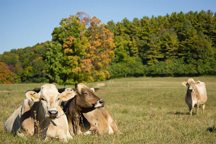 shelburne-cows.jpg