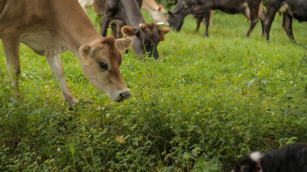 grass+cows.jpg
