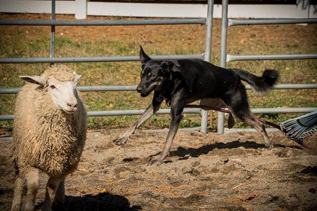 She can kinda herd sheep but she's better at kissing them #phifedawg #dogkisses #sheepherding #dogsofinstagram