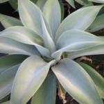 agave-attenuata-nova-150x150.jpg