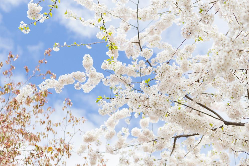 Spring Blossoms, Boston
