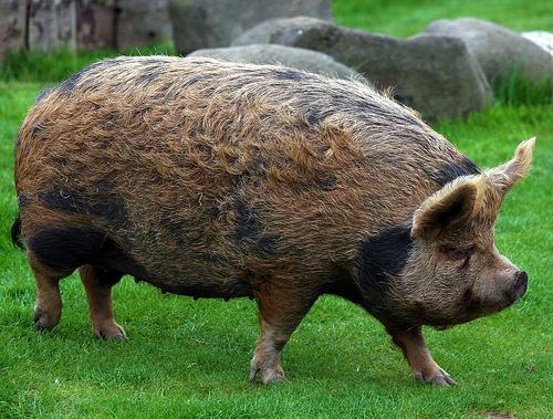 fuckyeahungulates :     Kunekune Pig ( Sus scrofa domestica )