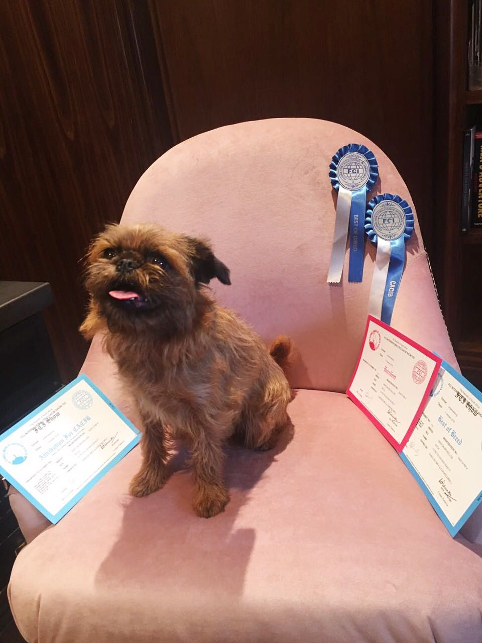 MISS SCARLET - FCI SHOW - Excellent, Best of Breed & CACIB  TKC SHOWS - CC