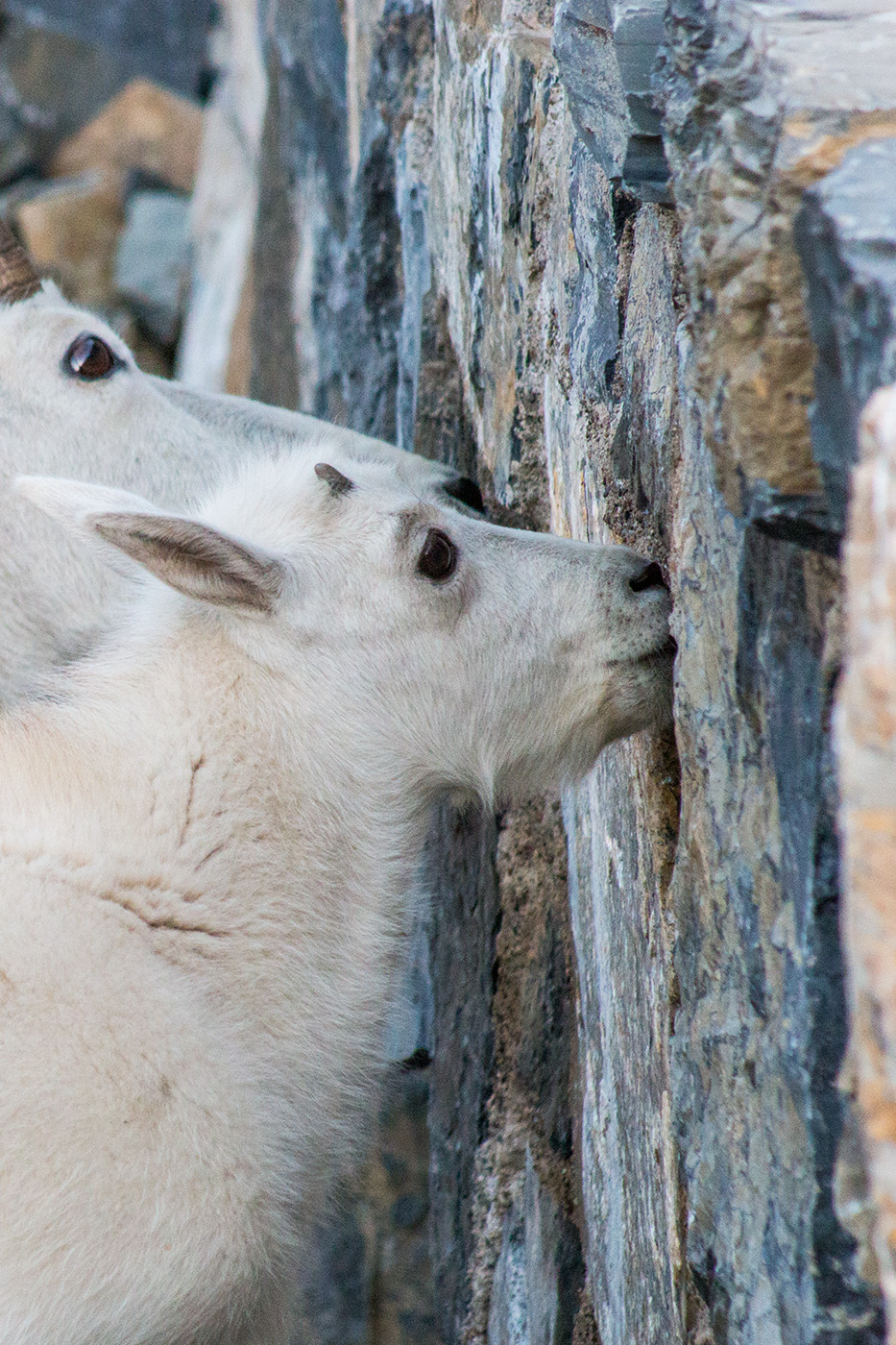 Whoever thought goats licking a wall could be so lovable? (Lauren Chagaris)
