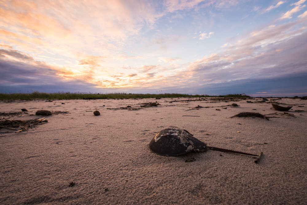 Horseshoe Crab at Sunset © Allie Richards
