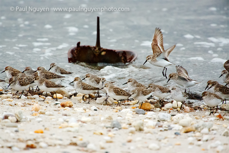 Birds feasting on crab eggs! © Paul Nguyen