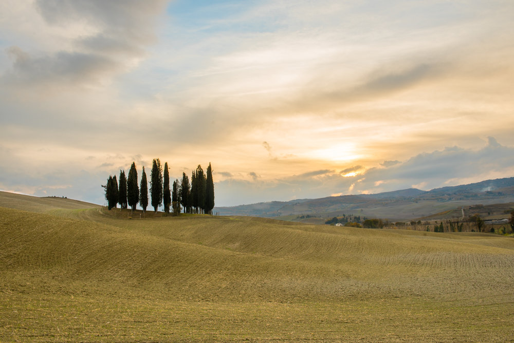 Cypress in Montalcino