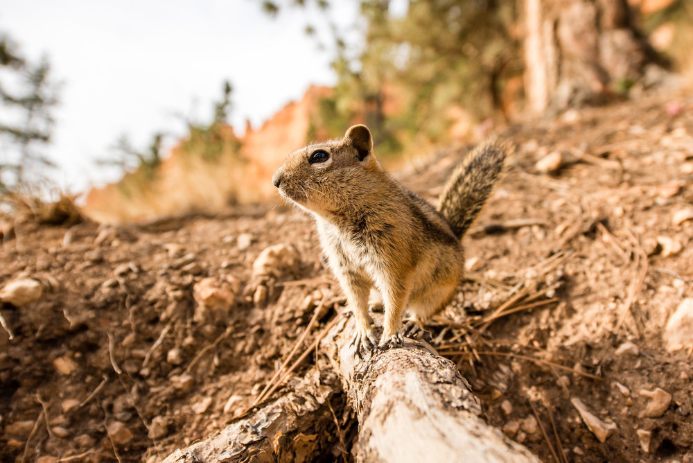 Squirrel of Bryce © Allie Richards