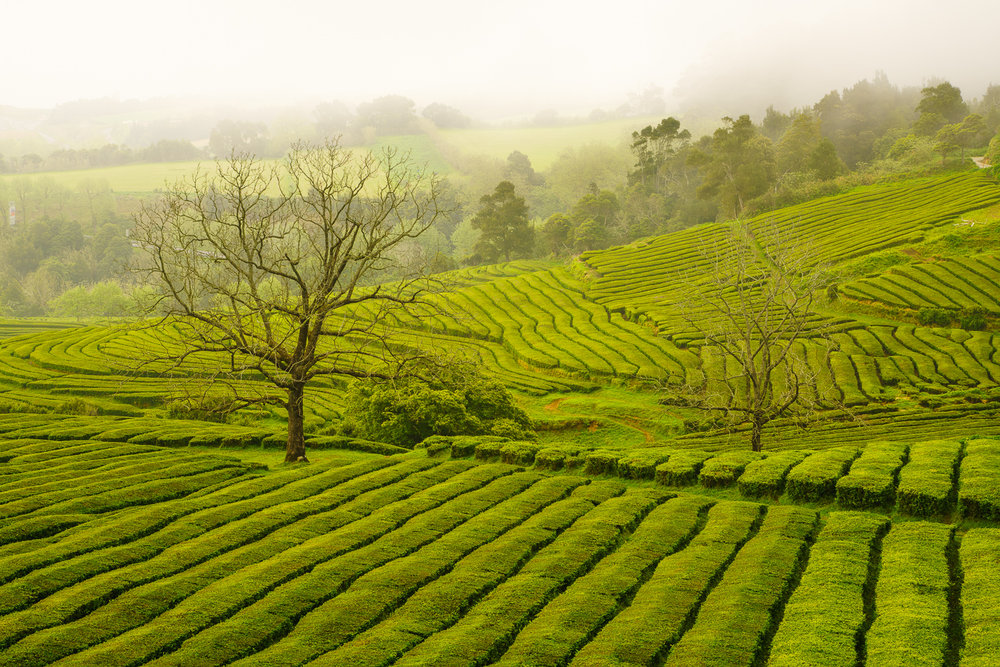 Gorreana Tea Plantation shrouded in fog © Paul Nguyen