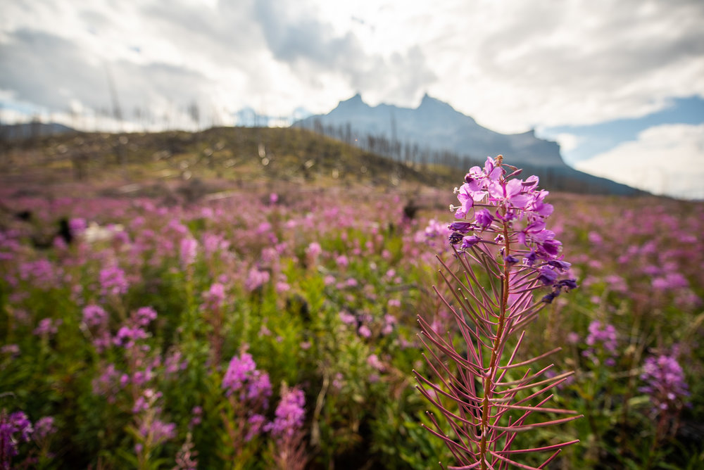Random road stops can also be rewarding. We found lots of pink flowers blooming over a burned area in front of a mountain. © Allie Richards