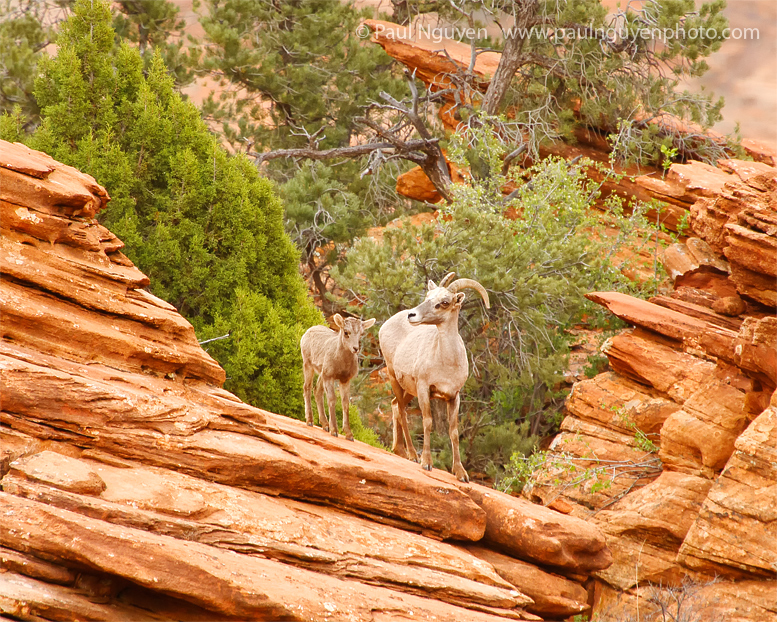 Copy of Mother-and-Kid-Bighorn.jpg