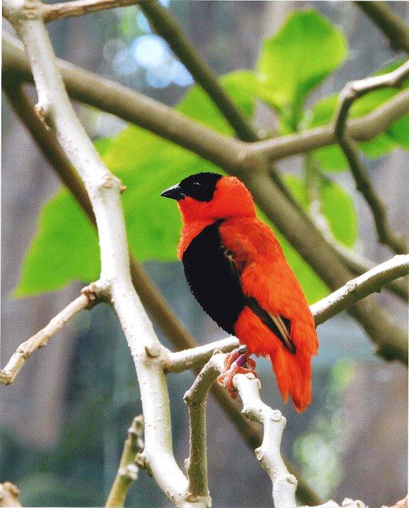 birdblackandorange1.jpg.jpg