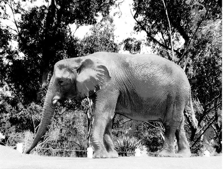blackandwhite elephant1.jpg.jpg