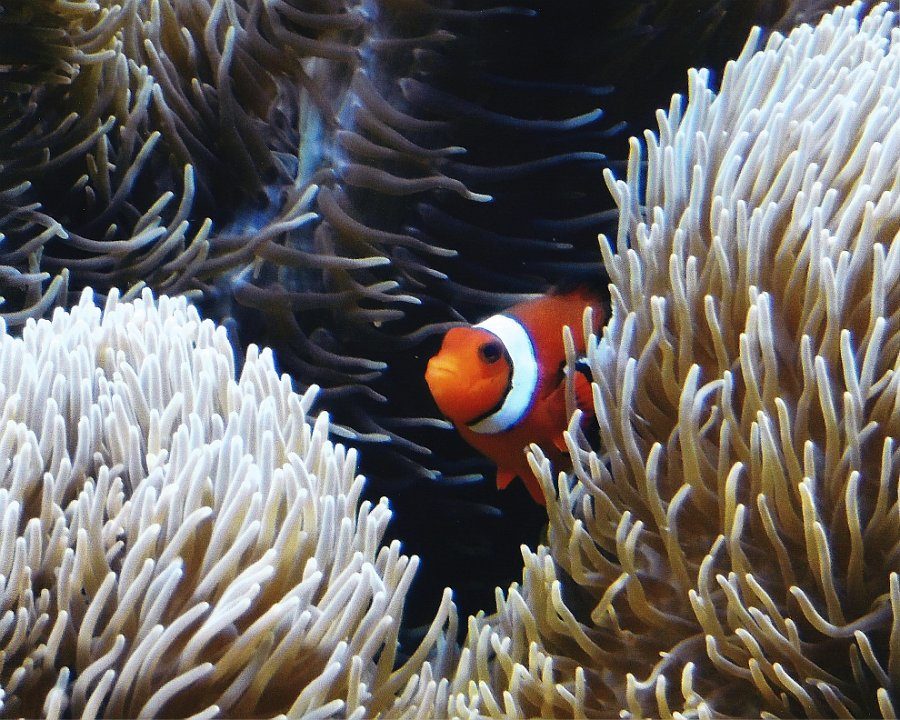 clownfish1.jpg.jpg