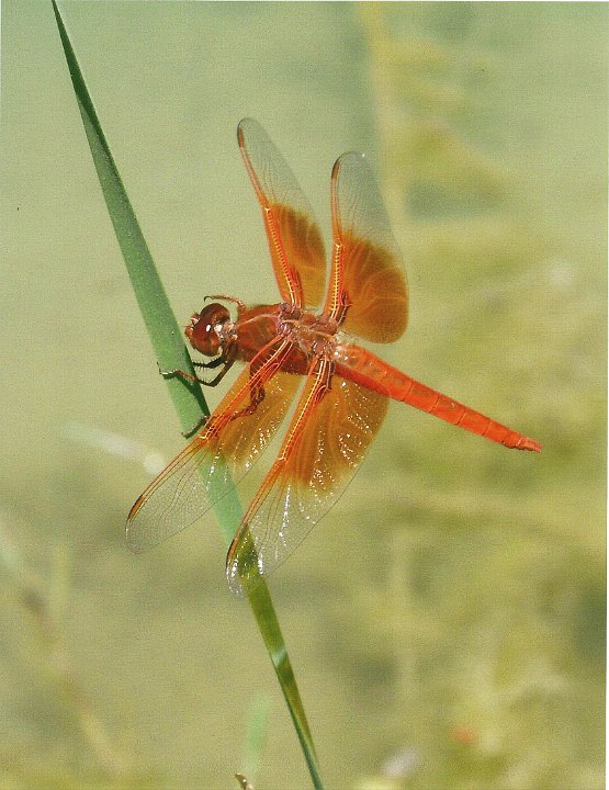 dragonfly1.jpg.jpg