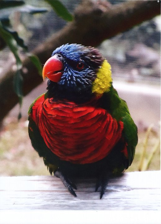 friendlylorikeet1.jpg.jpg