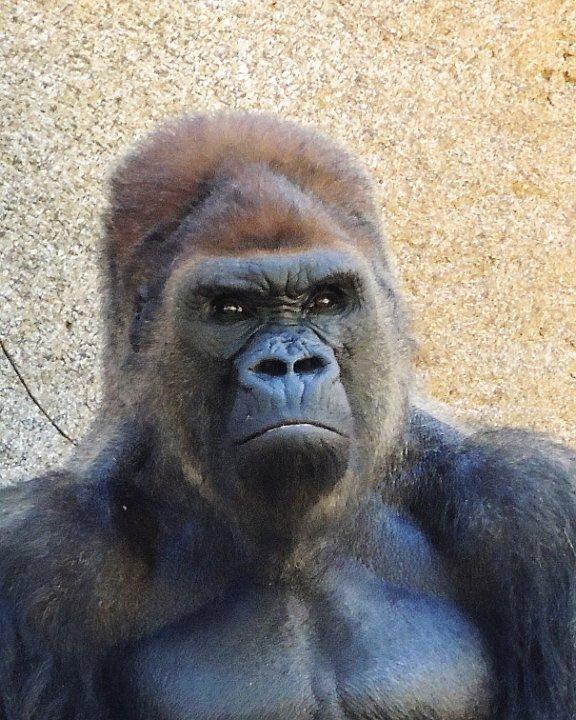 gorilla1.jpg.JPG