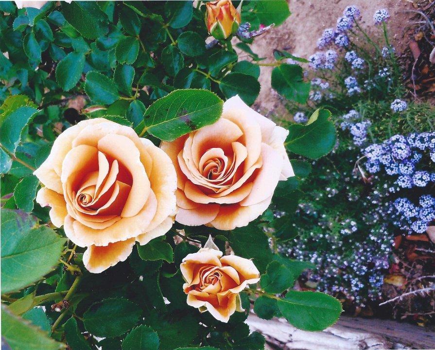 roseswithblue alyssum1.jpg.jpg