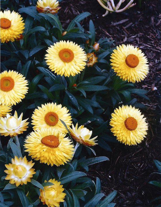 strawflower1.jpg.jpg