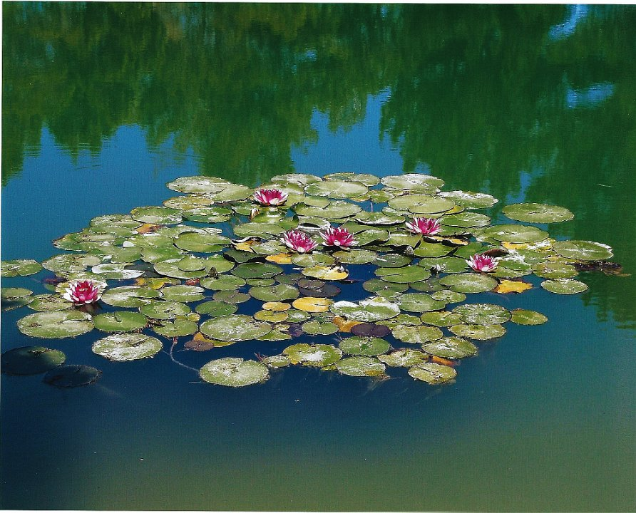 waterlilies1.jpg.jpg