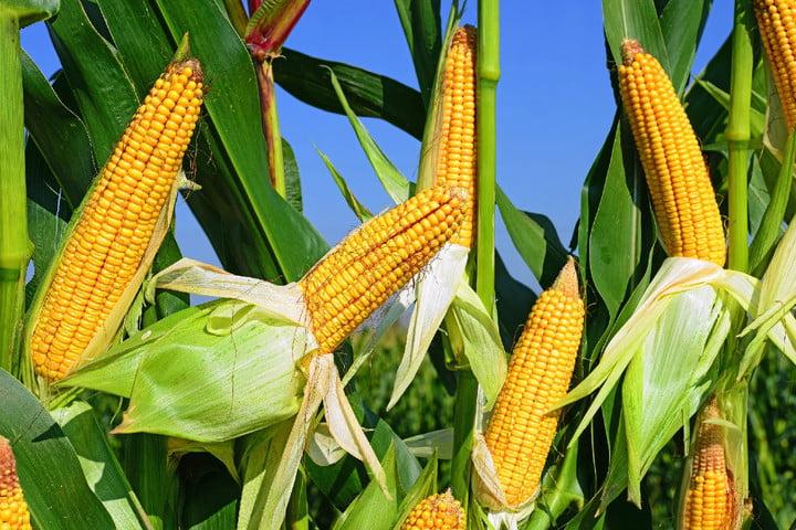 the main markets to buy corn garay