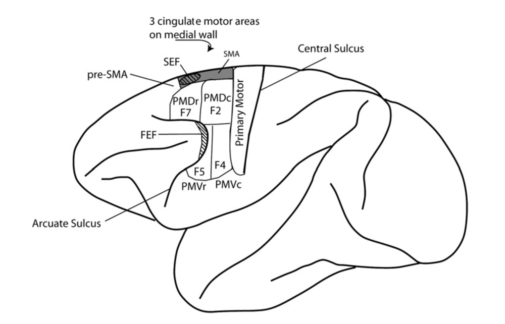 Modern Motor Cortex