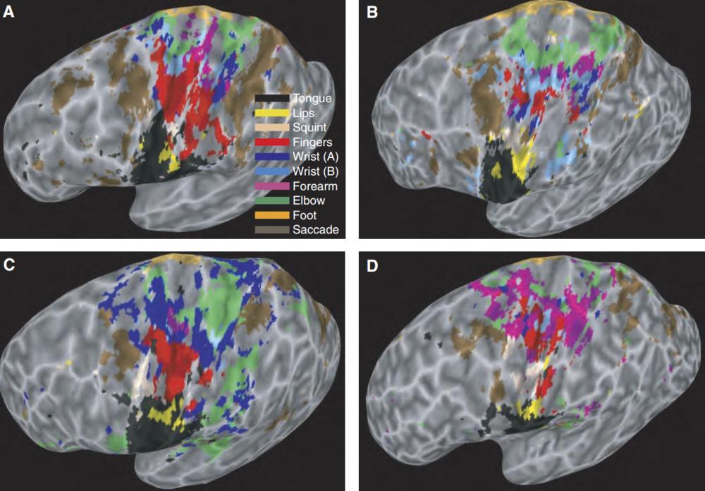 fMRI Motor Cortex Map